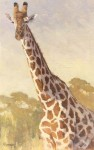 Kratter Towering Above giraffe