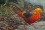 Lopez Golden Pheasant