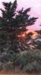 Lopez Shore Pines at Sundown