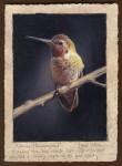 Dave Sellers - Annas Hummingbird